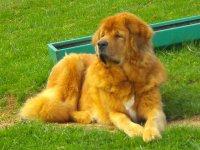 Tibetan mastiff na trawie